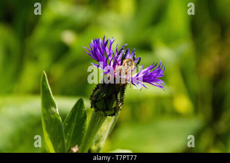 A Centaurea Montana flower with a bee, also known as perennial cornflower, mountain cornflower, bachelor's button, montane knapweed and mountain bluet - Stock Image