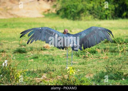 Marabou Stork, Leptoptilos Crumenifer, Wings Spread, Wingspan, Uganda, East Africa - Stock Image