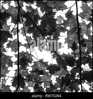 Low Angle View of Japanese Maple Tree Leaves against White Sky - Stock Image
