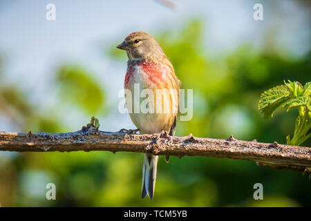 Closeup portrait of a Linnet bird, Carduelis cannabina, display and searching for a mate during Spring season. Singing in the early morning sunlight. - Stock Image