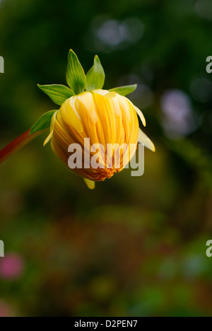 Yellow Dahlia Bud with Green Leaves on Soft Focus Background. - Stock Image
