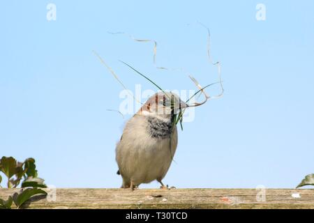 Hailsham, UK. 5th Apr 2019. UK weather.  A House sparrow (Passer domesticus) collects nesting material this morning in Hailsham, the birds often find difficulty finding nesting spots due to modern building techniques. Hailsham,East Sussex, UK. Credit: Ed Brown/Alamy Live News - Stock Image