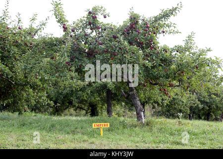Apple orchard, Claverack, NY, USA - Stock Image