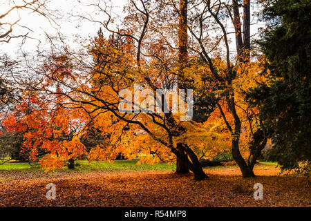 Magnificent Maple tree in autumn at Westonbirt Arboretum, Gloucestershire, UK - Stock Image