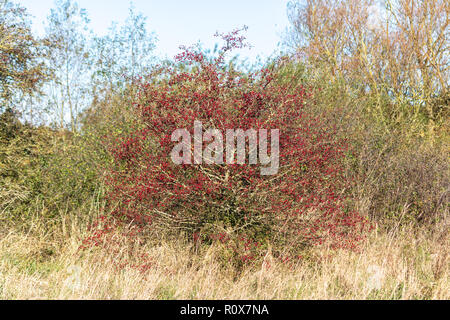 A Hawthorn (Crataegus monogyna) shrub on a sunny autumn day with most of its leaves fallen and branches laden with red berries or haws. Chippenham UK - Stock Image