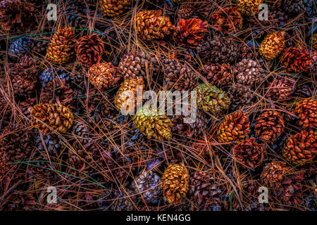 fir-cone needle background,pine cones in the forest - Stock Image