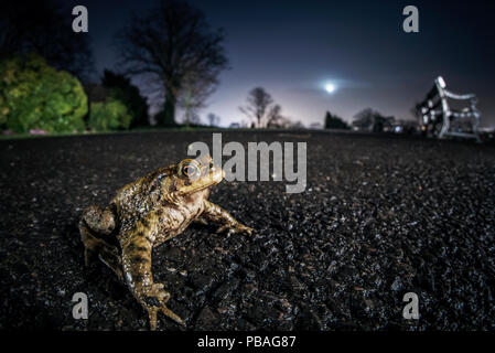 Common toad (Bufo bufo). Bristol, UK. March - Stock Image