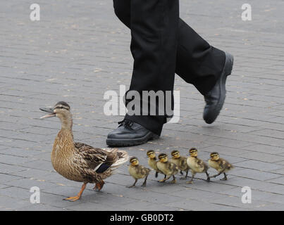 Duck and ducklings in Teesside - Stock Image