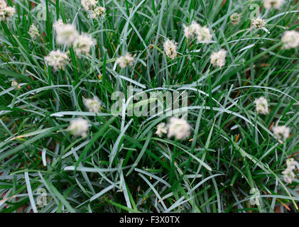 Sesleria caerulea close up of plant - Stock Image