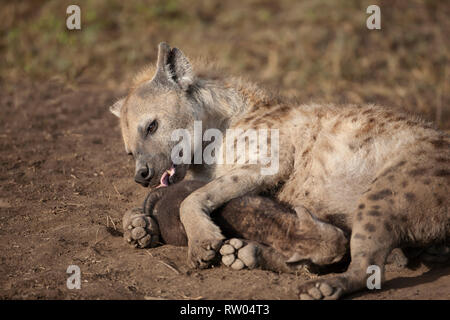 Female Spotted hyena Crocuta crocuta suckling a cub near to an earth scrape in Ndutu Tanzania - Stock Image