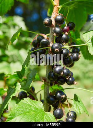 Blackcurrants growing on blackcurrant bushes in a pick your own fruit farm in the English countryside, UK. - Stock Image