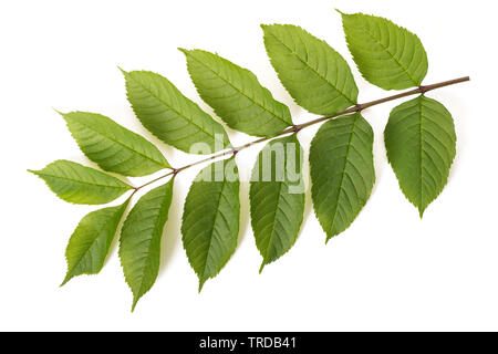 Fresh Ash branch isolated on white background - Stock Image