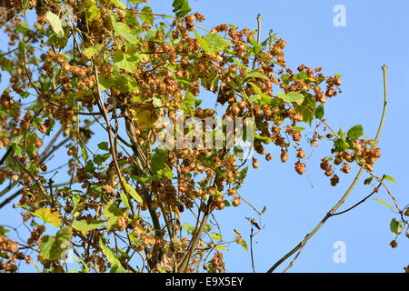 Hops growing  in the wild climbing in a tree - Stock Image