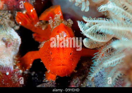Juvenile Painted frogfish (Antennarius pictus) hiding by feather star in coral, Lembeh Strait, Sulawesi, Indonesia - Stock Image