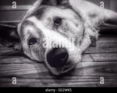 Female Akita dog laying looking at camera. - Stock Image