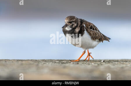 Little Ringed Plover walking along a stone wall. - Stock Image