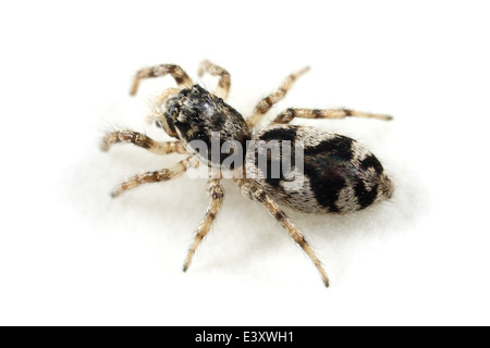 Female Salticus cingulatus spider, part of the family Salticidae -  Jumping spiders. Isolated on white background. - Stock Image
