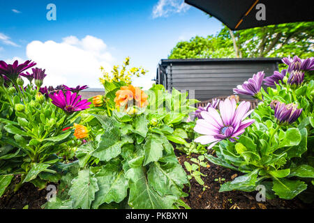Colorful flowers in a flowerbed on a terrace in a garden with blue sky in the background - Stock Image