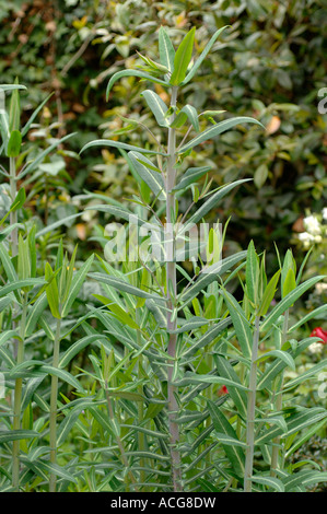 Caper spurge Euphorbia lathyris plants a winter sown crop before flowering - Stock Image