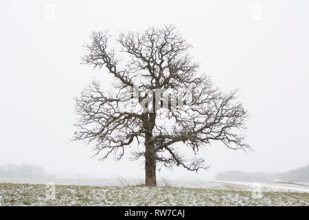 Lone Tree in Field During Light Snow in Winter - Stock Image