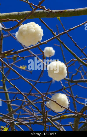 Tree and flowers of silk floss tree, Ceiba insignis, Chorisia Speciosa - Stock Image