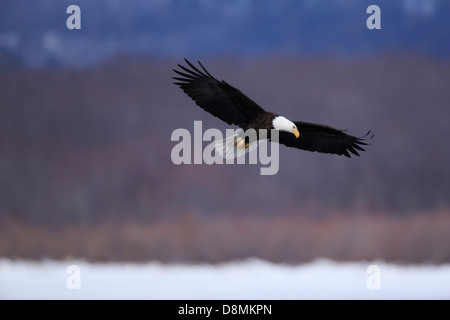 Bald Eagle (Haliaeetus leucocephalus) hunting over the Mississippi River in winter - Minnesota, USA. - Stock Image
