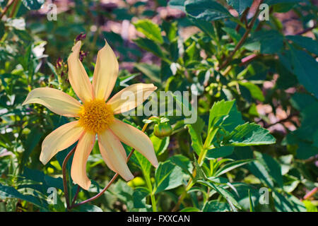 Single yellow flower against green foliage. - Stock Image