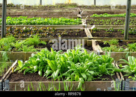 five rows of raised vegetable beds with wooden sides in lines in a plastic green house, polytunnel, growing in the beds are ten different varieties of - Stock Image
