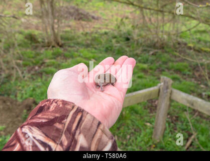 Imature Bank Vole (Myodes glareolus) being handled by a volunteer warden, on a nature reserve in the Herefordshire UK countryside. April 2019. - Stock Image
