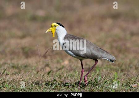 Masked Lapwing (Vanellus miles), Cape York Peninsula, Far North Queensland, FNQ, QLD, Australia - Stock Image