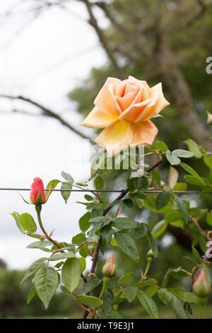 Royal Sunset rose, a climbing rose, at the Owen Rose Garden in Eugene, Oregon, USA. - Stock Image