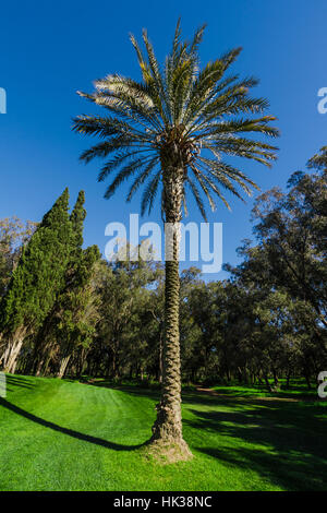 Palm tree on a golf course - Stock Image