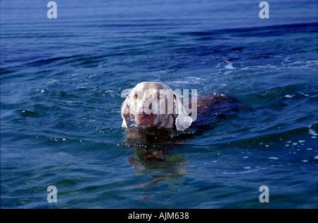 Grey dog swimming at the coast female Weimaraner - Stock Image