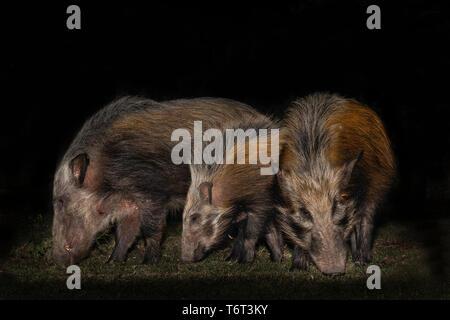 Bush pigs (Potamochoerus larvatus), Mpila camp, iMfolozi game reserve, KwaZulu-Natal, South Africa, September 2018 - Stock Image