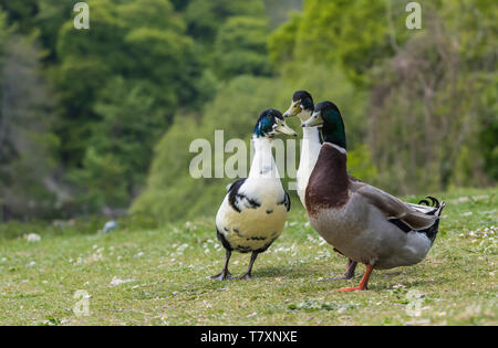 Group of domestic ducks standing around chatting in Spring in the UK. - Stock Image