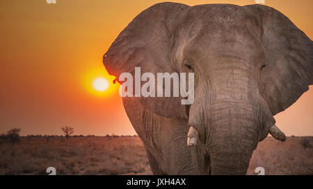 Extreme close-up portrait of male african elephant with broken tusks and torn ears. - Stock Image