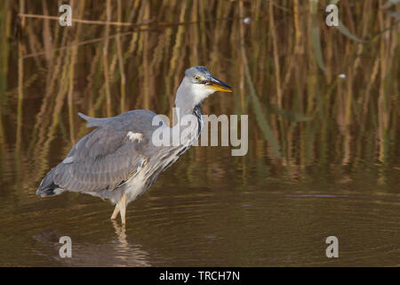 Detailed, close-up side view of wild, British grey heron bird (Ardea cinerea) isolated wading in shallow water of UK wetlands reedbed fish in beak. - Stock Image