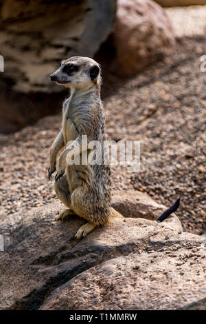 The meerkat or suricate (Suricata suricatta) is a small carnivoran belonging to the mongoose family (Herpestidae). - Stock Image