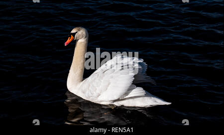 Side view of a Single White Mute Swan swimming on lake - Stock Image