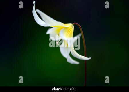 erythronium multiscapoideum,fawn lily,dogstooth violet,spring,white,yellow,flowers,flowering,clump,wood,woods,woodland,shade,shady,shaded,garden,RM fl - Stock Image