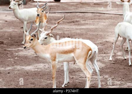 White Blackbuck antelopes - Stock Image