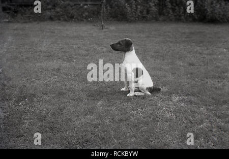 1950s, historical, small spotted dog sitting in a field, England, UK - Stock Image