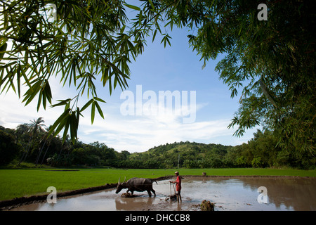 A Filipino farmer drives a carabao while working to level a rice field near Mansalay, Oriental Mindoro, Philippines. - Stock Image