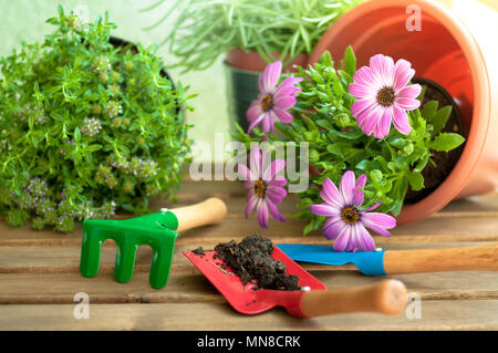 Gardening tools and flowers on a wooden table - Stock Image