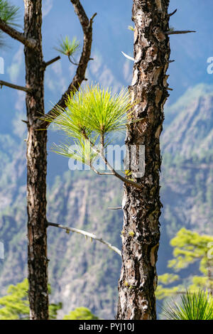 Regrowth following a forest fire the Canary Island pine (Pinus canariensis) - Stock Image