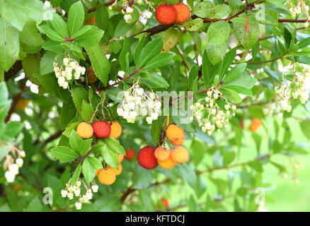 The whitish flowers and ripening fruits of a strawberry tree (Arbutus unedo). Winchester, Hampshire, UK. - Stock Image