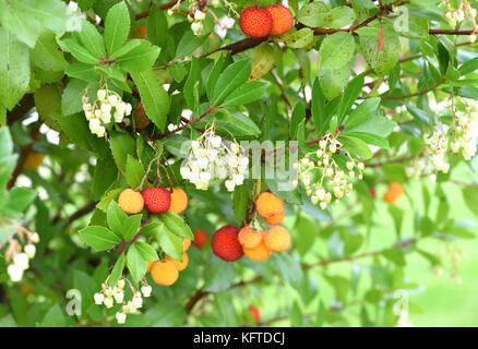 The whitish flowers and ripening fruits of a strawberry tree (Arbutus unedo). Winchester, Hampshire, UK. - Stock Image