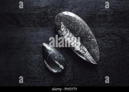Orthoceras Fossils on Black Table - Stock Image