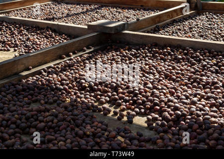 Traditional method of drying mature organic coffee beans on  open grid outside in sun lights, bio coffee farm - Stock Image