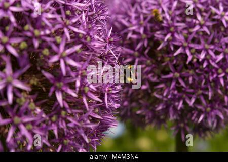 Two Allium giganteum with a bumblebee feeding on nectar © Jeremy Graham-Cumming - Stock Image